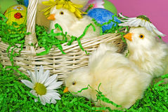 Baby Easter chicks Royalty Free Stock Images