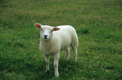 Baby Easter Sheep. Baby lamb in grass royalty free stock photography