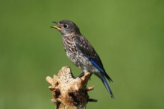 Baby Eastern Bluebird Royalty Free Stock Photos