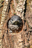 Baby Eastern Bluebird Royalty Free Stock Photo