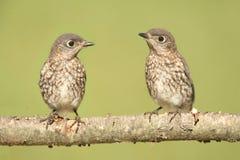 Baby Eastern Bluebirds Royalty Free Stock Photo