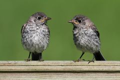 Baby Eastern Bluebirds Stock Photo