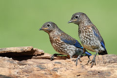 Baby Eastern Bluebirds Royalty Free Stock Photo