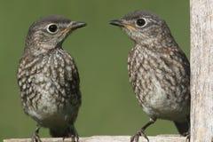 Baby Eastern Bluebirds Stock Photography