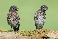 Baby Eastern Bluebirds Stock Photography