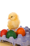 Baby eastern chicken with eggs on blue carton. Isolated Royalty Free Stock Photo