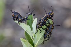 Baby Eastern Lubber Grasshoppers. Young Eastern Lubber grasshoppers, Romalea microptera, seek high ground on a weed in Holly Hill, Florida Stock Image