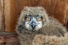 Baby Eaurasian Owl Royalty Free Stock Images