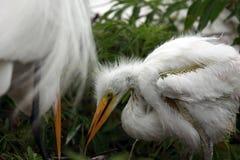 Baby Egret stock photo
