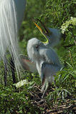 Baby egret in nest, waiting to be fed, in Florida. Royalty Free Stock Photography