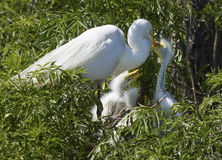 Baby egrets grasping adult`s bill looking for food, Florida. Great egret, Ardea alba, with babies in the nest grasping its bill begging to be fed, at a rookery Stock Photo