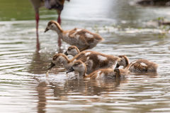 Baby Egyptian goose go for a swim on their own in dangerous wate Stock Images
