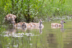 Baby Egyptian goose go for a swim on their own in dangerous wate Stock Photos