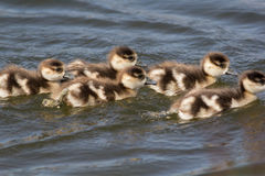 Baby egyptian goose gosling. Cute young baby geese swimming in a. Baby egyptian goose Alopochen aegyptiaca gosling. Young baby geese swimming in a line on lake royalty free stock photo