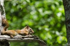 Baby-Eichhörnchen, das auf dem Baumast am heißen Sommer-Nachmittag stillsteht Lizenzfreies Stockfoto