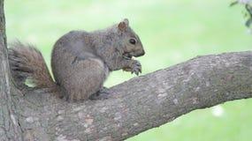 Baby-Eichhörnchen mit Nuss, Naturschutzgebiet, Niagara Falls, Kanada Lizenzfreie Stockfotos