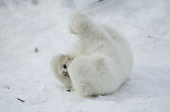 Baby-Eisbär vom Toronto-Zoo Lizenzfreie Stockfotos
