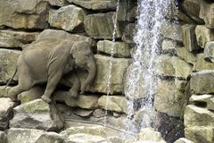 Baby Elefant. Struggling for water royalty free stock photo