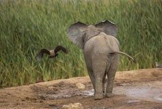 Baby-Elefant, der einen Vogel aufpasst Lizenzfreies Stockfoto