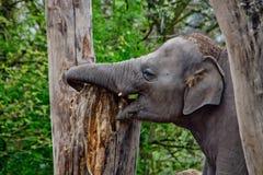 Baby-Elefant, der mit Baumstamm spielt Stockfoto