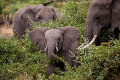 Baby elefant with his mother. Baby elefant is eating with ihs mother will she protects him stock image