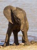 Baby-Elefant - Mapondo-Verdammung KNP Lizenzfreie Stockfotografie