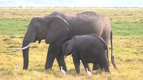 Baby-Elefant und Mutter, die Gras essen stock video
