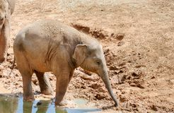 Baby elefant at the zoo. Baby elefant playing at the zoo royalty free stock image