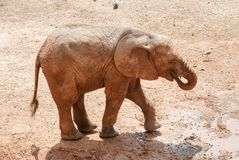 Baby elefant at the zoo. Safari park stock images