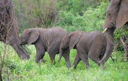 Baby-Elefanten geschützt von den Müttern stockfotos