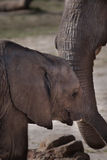 Baby Elephand and his Mother Royalty Free Stock Photos