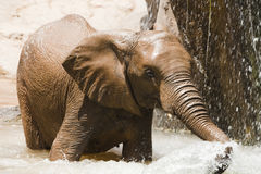 Baby elephant. Elephant splashing water in the river Stock Photos