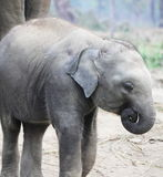 Baby elephant Royalty Free Stock Image