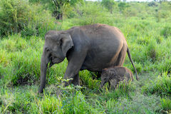 Baby elephant. Walking with mama Stock Images
