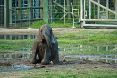 Elephant calf at zoo. A cute little elephant baby playing in the mud at a zoo Stock Images