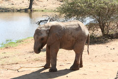 Baby elephant. In africa by the water hole stock photo