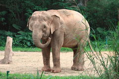 Baby elephant. In Guangzhou safari, China stock images