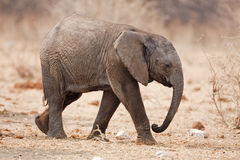 Baby elephant. Walking over rocky plains; Loxodonta africana stock image