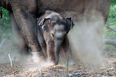 A baby elephant Stock Photography