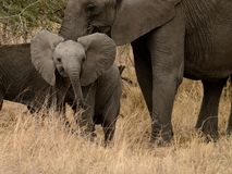 Baby Elephant Stock Images