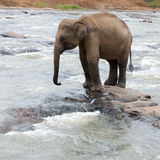 Baby-elephant Royalty Free Stock Images