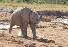 Baby Elephant. Storming baby elephant with cheeky attitude Stock Photos