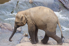 A baby elephant Royalty Free Stock Images