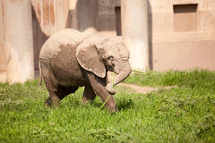 Baby elephant. Playing on the grass,Very hot weather Stock Photography