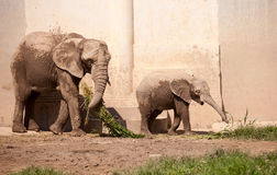 Baby elephant. Playing with its mother Royalty Free Stock Images