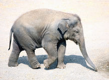 Baby elephant walking to water Royalty Free Stock Image