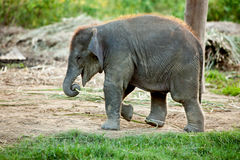 Baby elephant. In nature park royalty free stock photo