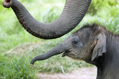 Baby elephant. Side by side with its mother royalty free stock images