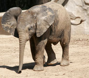 Baby Elephant. A baby elephant with his ears out - very young royalty free stock images