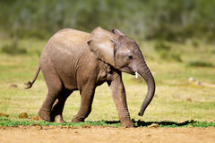 Baby elephant. Running - Addo National Park stock images